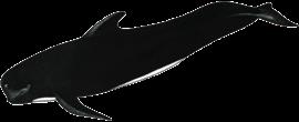 black-pilot-whale