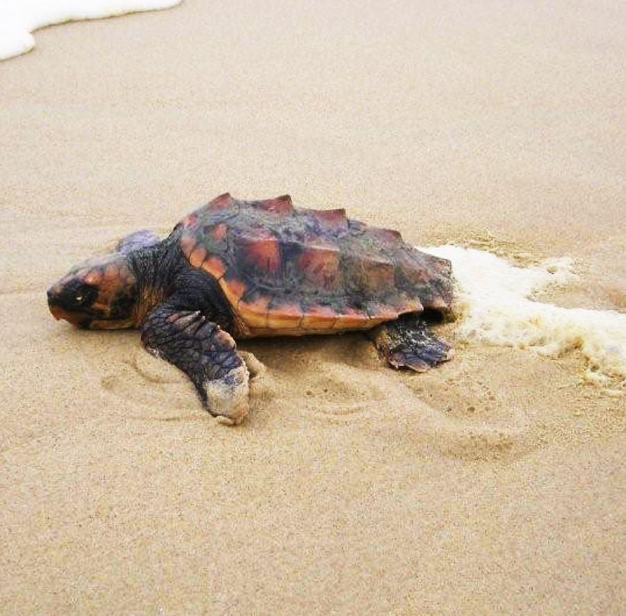 Biologie des tortues marines - Tortue caouanne - Aquarium La Rochelle
