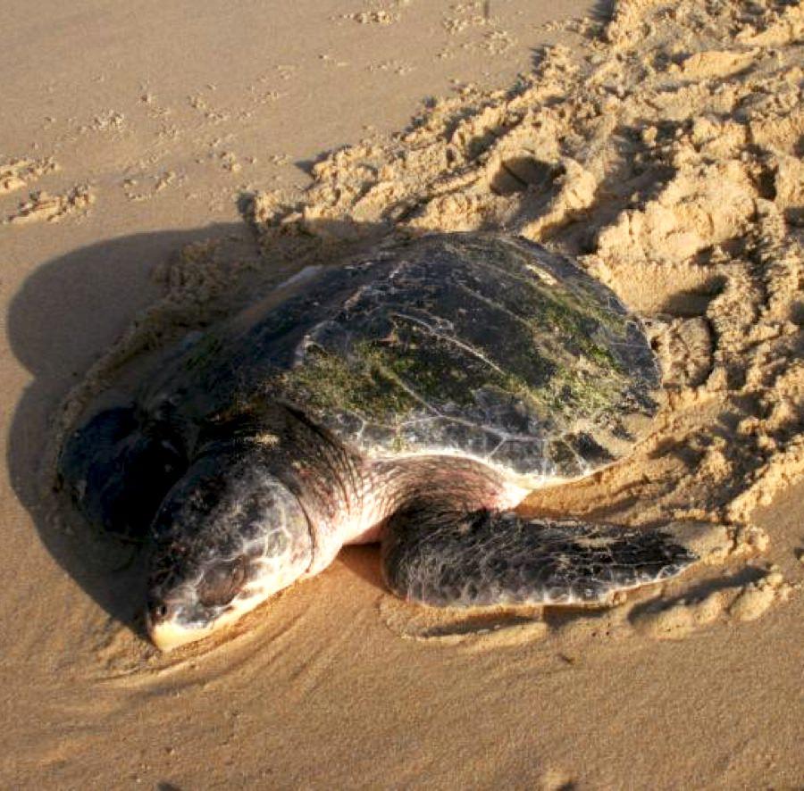 Biologie des tortues marines - Tortue de Kemp - Aquarium La Rochelle