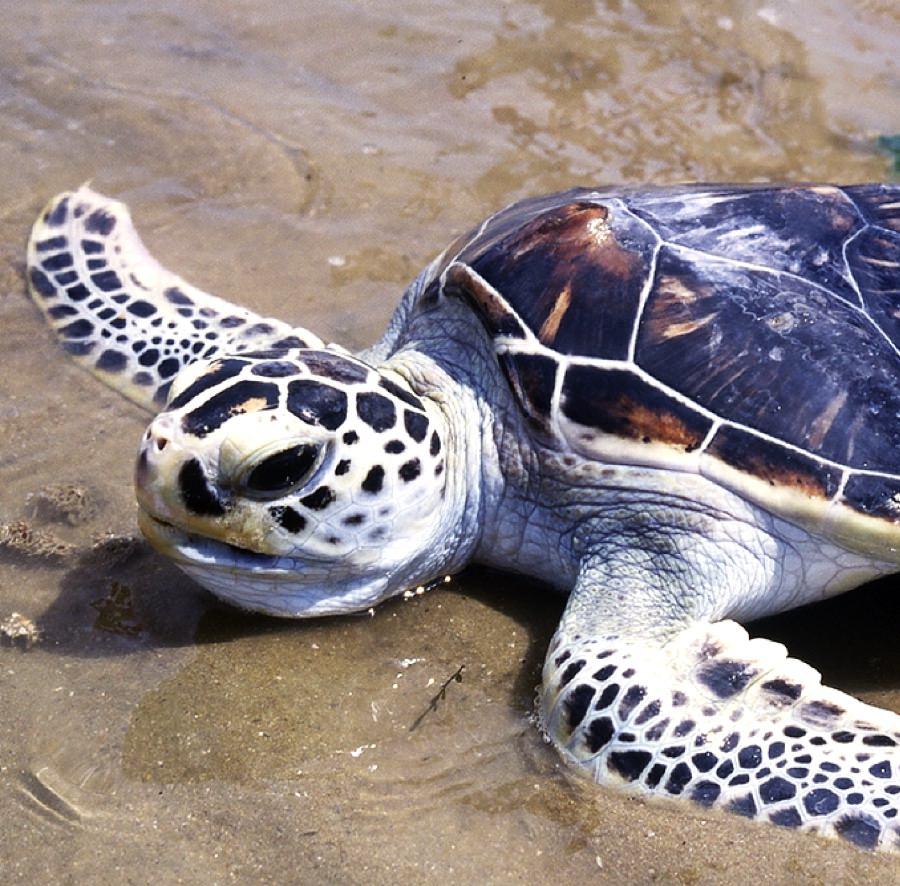 Biologie des tortues marines - Tortue verte - Aquarium La Rochelle