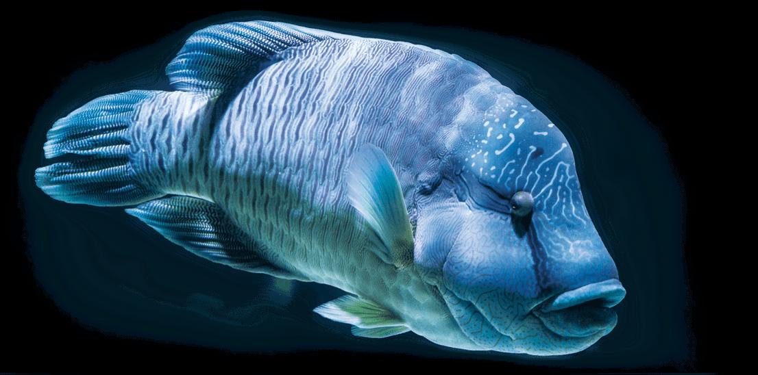 poisson napoleon