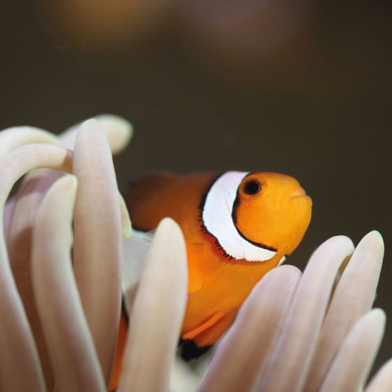 poisson-clown-aquarium-la-rochelle-bloc-560X560